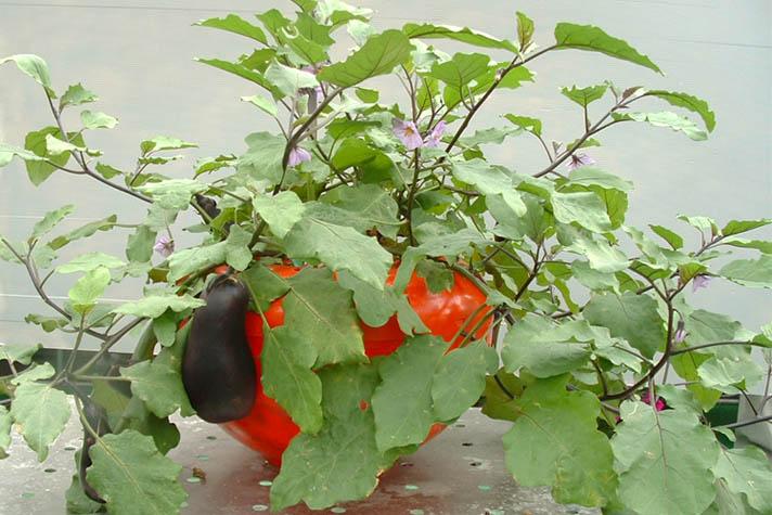 の 育て 方 茄子