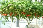 ホームハイポニカ303 中玉トマト