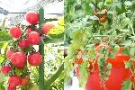 ミニトマト(ネネ)の種 12粒入り