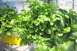 ホームハイポニカサラプラス 葉物野菜