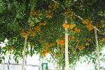 ホームハイポニカサラプラス 巨木トマト