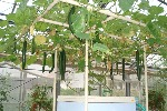 巨木トマト栽培用架台