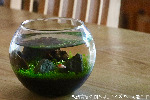 【水栽培】 聖新陶芸 育てる水草 Sサイズ